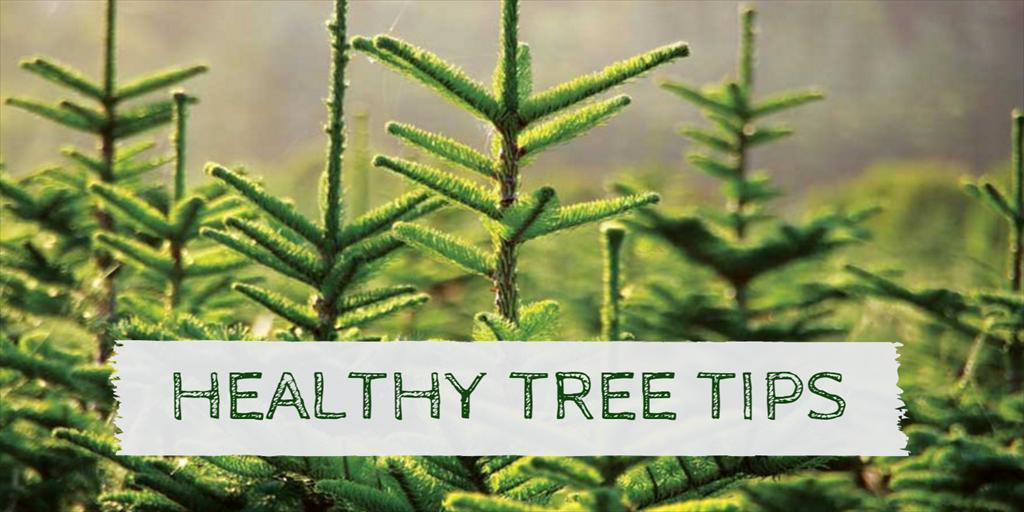 Choosing a Healthy Christmas Tree