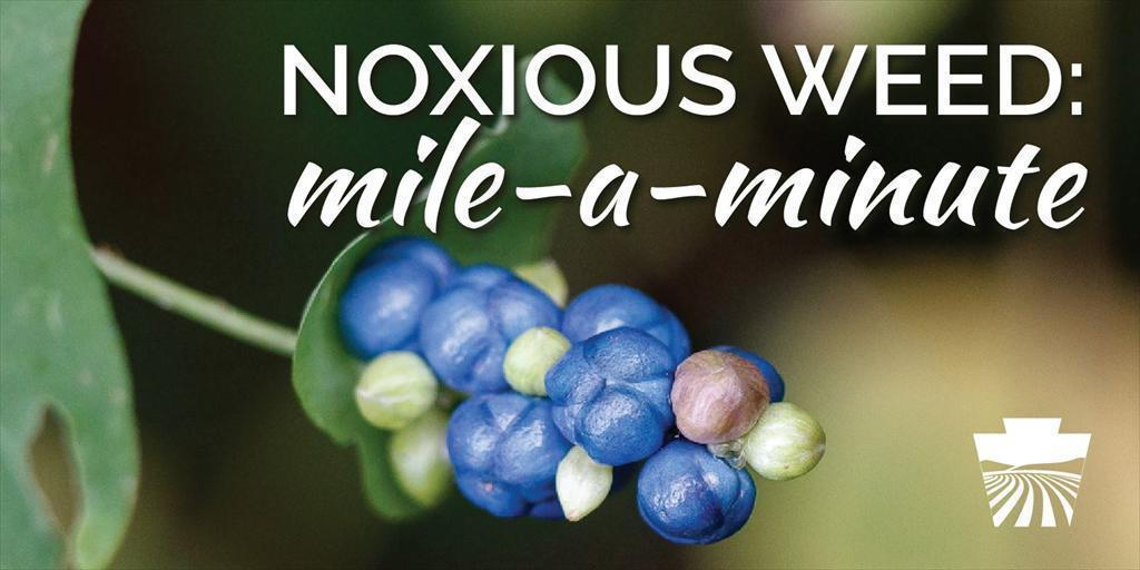 Noxious Weeds: Mile-a-Minute