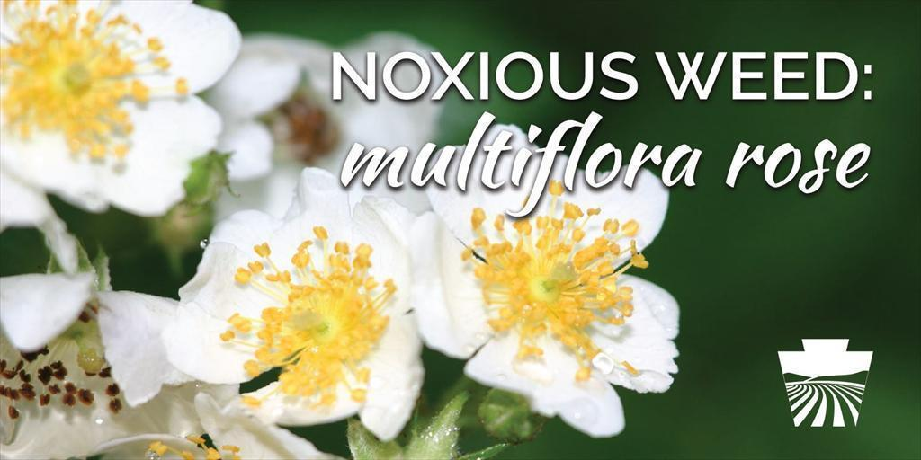 Noxious Weed: Multiflora Rose