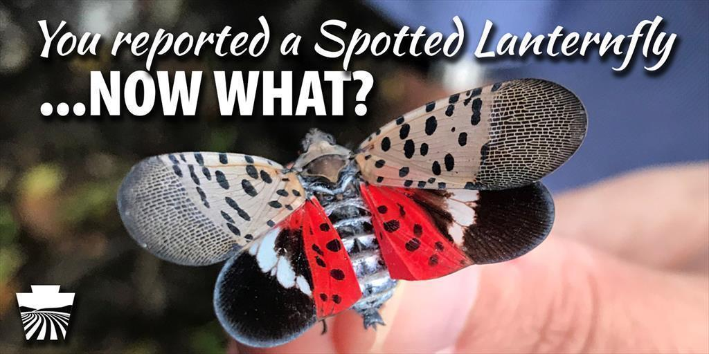 You Reported a Spotted Lanternfly, Now What?