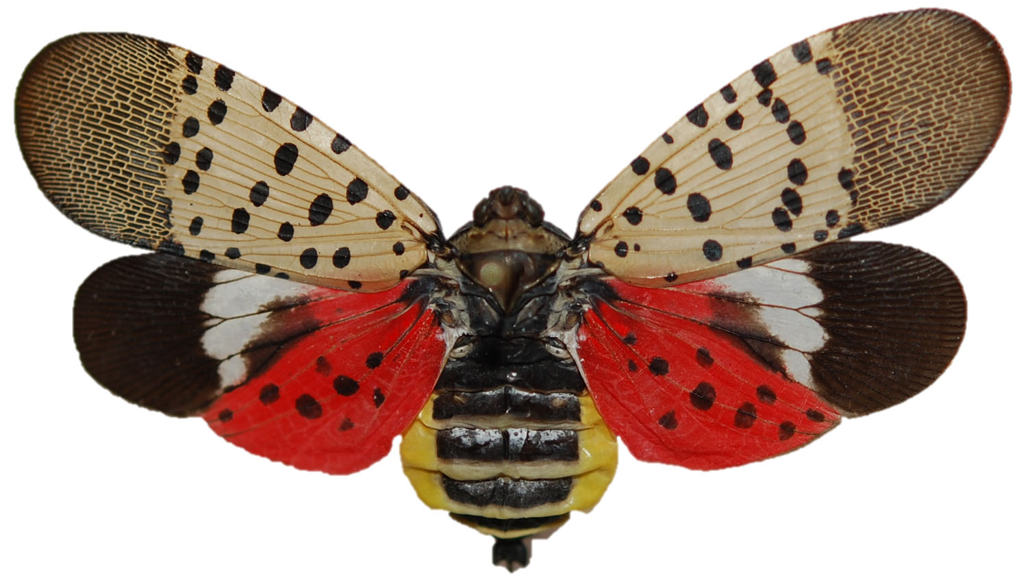 Image result for spotted lanternfly
