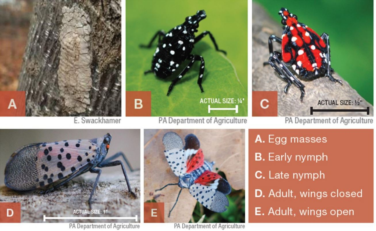 Spotted Lanternfly Life Stages.JPG