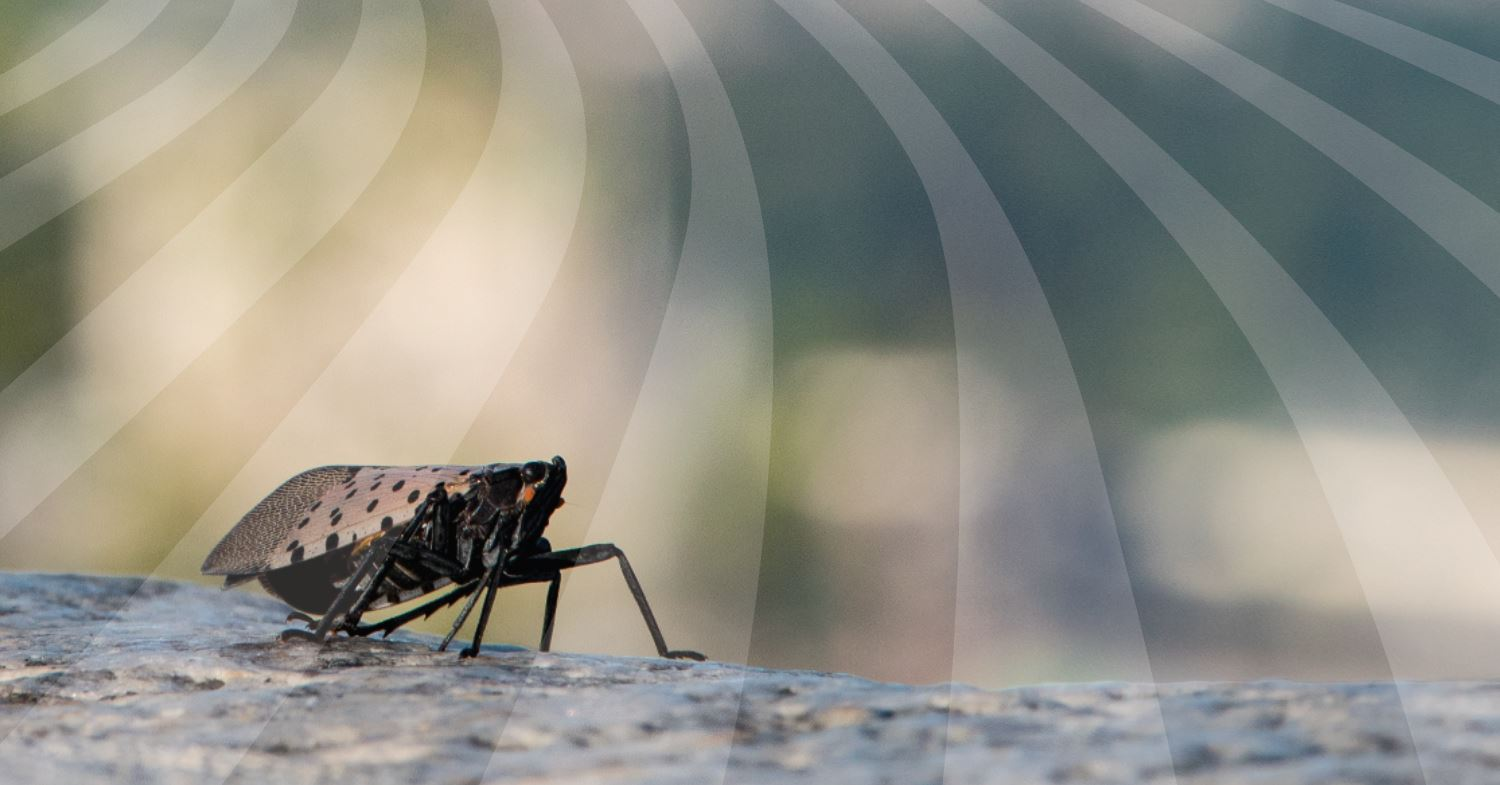 Spotted Lanternfly Newsletter header.JPG