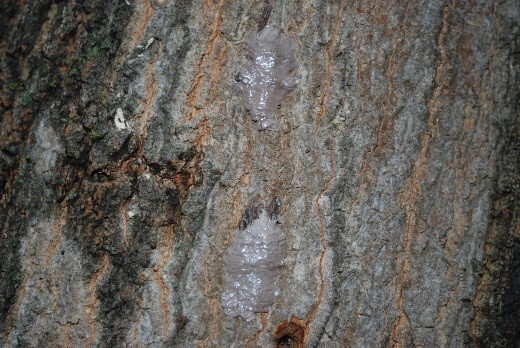 tree with spotted lanternfly damage
