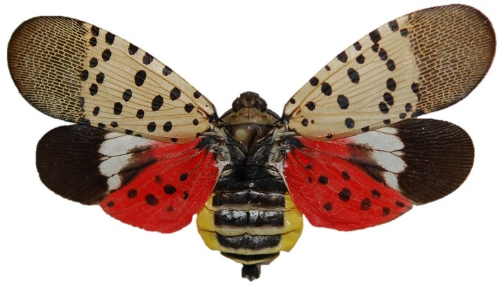 Adult spotted lanternfly image
